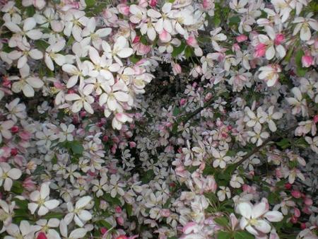 hundreds: Hundreds of cherry blossoms in Spring