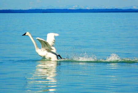 Swan taking flight off a lake 版權商用圖片