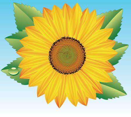 Vector sunflower Stock Vector - 4615139