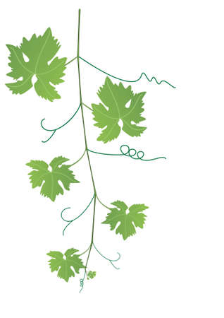 vector grape vine and leaves Vector
