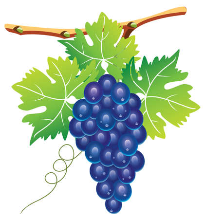 grape cluster and green leaves Vector
