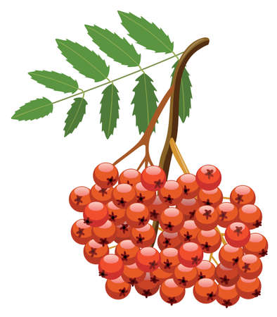 rowan: vector branch of mountain ash tree with bunch of berries Illustration