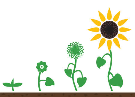Sunflower plant growth stages