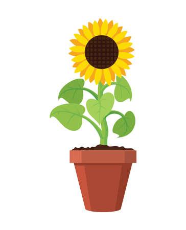 Vector cartoon of garden sunflower grow in pot. Summer agriculture illustration. Sun flower isolated on white background. Illustration