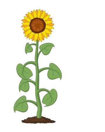 Vector cartoon of garden sunflower grow in soil. Summer agriculture illustration. Sunflower symbol isolated on white background