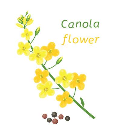 Vektor-Raps-Blume und Raps auf weißem Hintergrund. Rapsblumentext. Senfpflanze gelbe Blüte