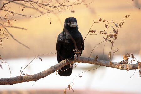 Jungle crow or thick billed crow with deformed beak, Ranthambore national park, Rajasthan, India