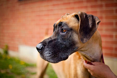Great dane looking left against a brick wall Banque d'images