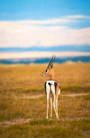 s horn: Male Grant s gazelle