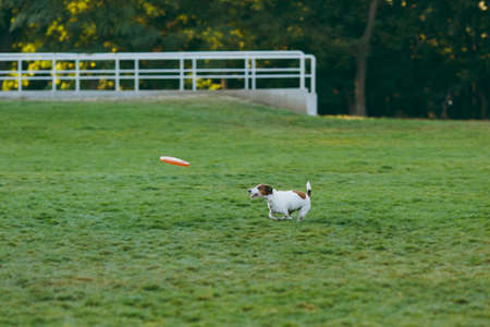 Small funny dog catching orange flying disk on the green grass. Little Jack Russel Terrier pet playing outdoors in park. Dog and toy on open air. Animal in motion background