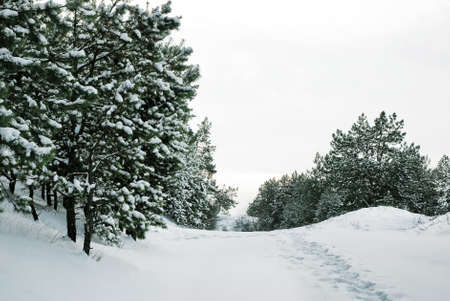 Beautiful natural landscape. A dense pine forest with a lot of evergreen trees covered with snow on a cold winter day.