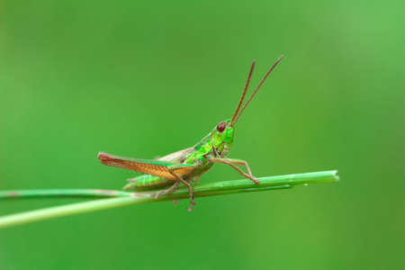 Green grasshopper on the blade of grass on a blurred green background Stock Photo