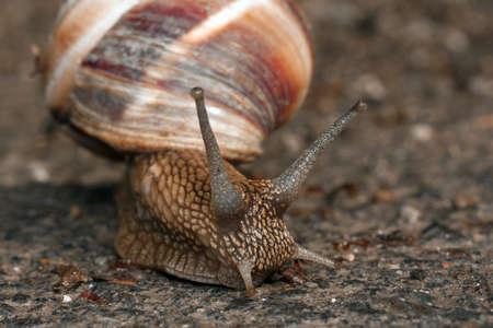 Large grape snail crawling on the ground, closeup