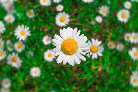 large flower of wild chamomile close-up against a background of a green field with a blurry background Stok Fotoğraf