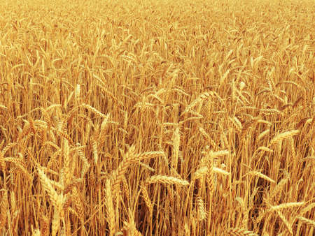 Field of Golden ripe ears of wheat. A rich harvest of cereals