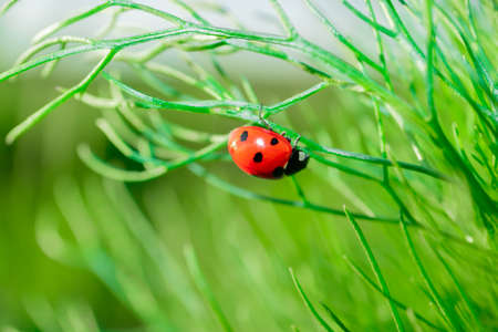 Ladybug on chamomile leaves. Closeup of insects in nature