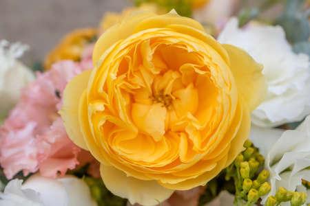 English rose David Austin, big yellow-orange roses Foto de archivo