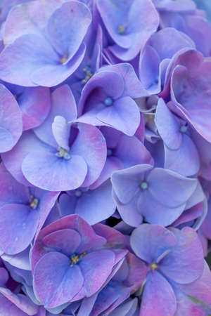 Purple color hortensia Hydrangea macrophylla with large leaved in macro.