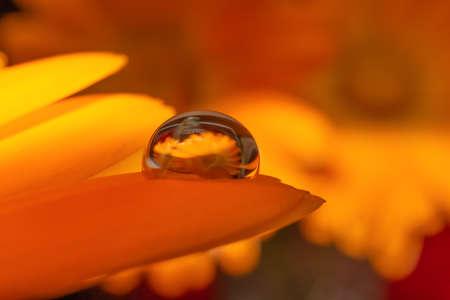 one waterdrop on orange petal of a marigold calendula.