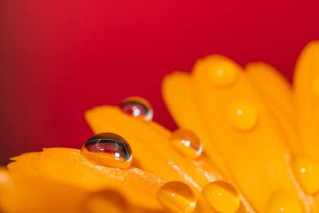 Drop of dew on a petal of a marigold calendula.