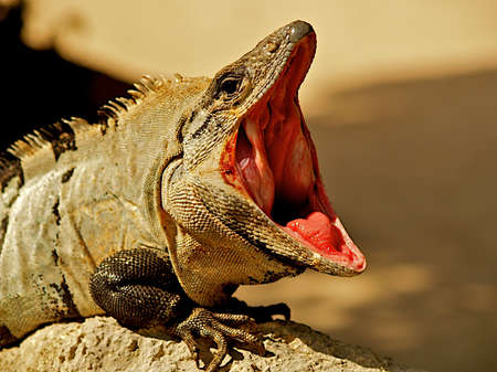 Iguana with mouth wide open. Stock Photo - 5052913
