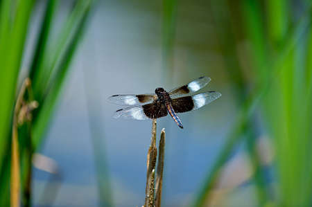 Dragonfly Landing on a Reed.