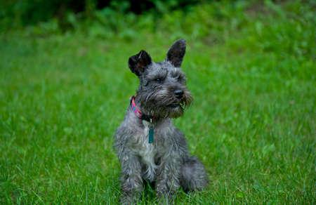 muffle: Miniature Schnauzer in the grass.