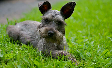 Miniature Schnauzer in the grass. photo
