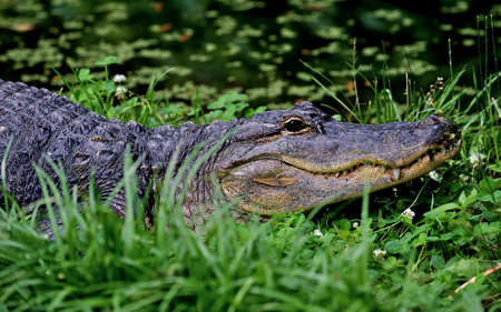 Endangered American Alligator