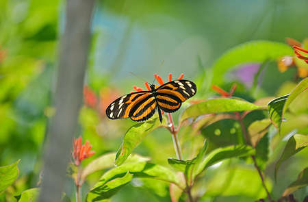 Orange and Black striped butterfly in natural habitat Stock Photo