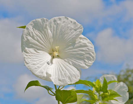 White Hibiscus with blue cloud filled sky background Stock Photo