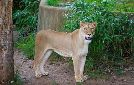 Female lion growling. Stock Photo