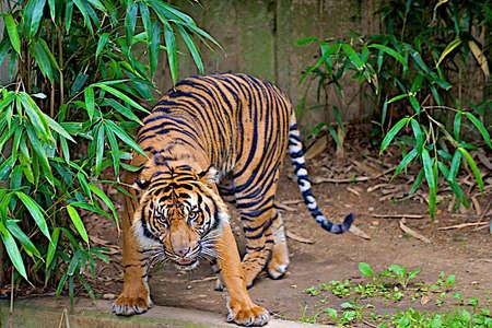 Aggressive tiger growling.