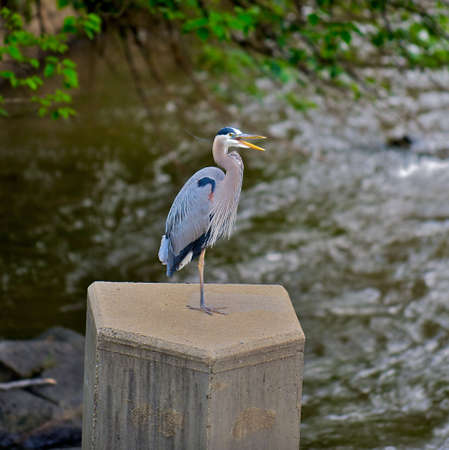 Gorgeous blue Heron with beak open after fishing in the James River in Richmond, Virginia.