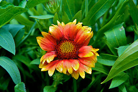 Beautiful orange and yellow sunflower in full bloom.  Gorgeous for any flower bed. Stock Photo