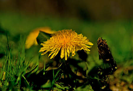 Dandelion is a weed that is very difficult to get rid of from a manicured lawn. Reklamní fotografie - 5489469