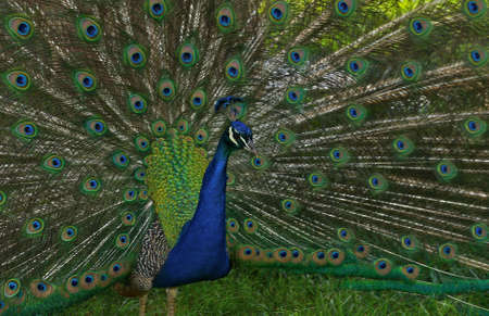 Beautiful male peacock with tail feathers spread out.