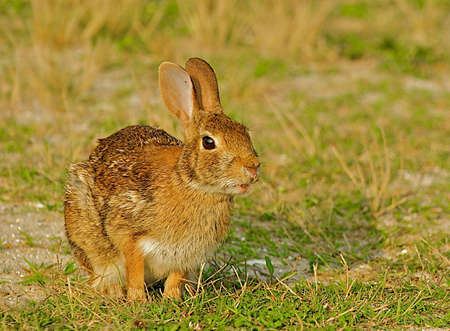 Alert wild rabbit with mouth slightly open in Chincoteague, Virginia. Stock Photo