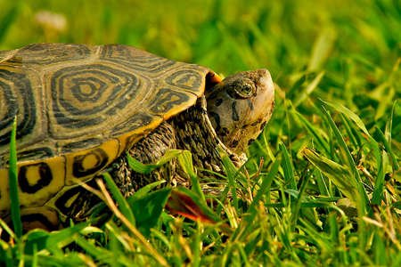 bask: Turtle peeking his head out of his shell to bask in the afternoon sun in Chincoteague, Virginia.