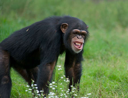 Funny chimpanzee in the grass with a very strange expression on his face