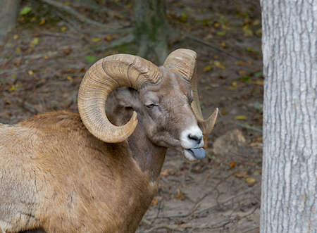 rumen: Big horn sheep standing by a tree with his tongue sticking out.
