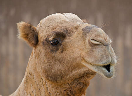 pouty: Close up of the face of a camel with pouty lips.