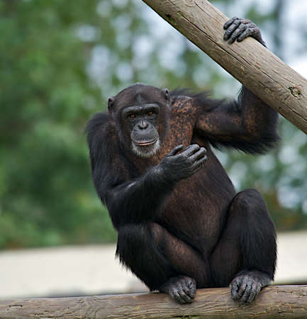 Adult chimpanzee holding on to a wooden rail staring ahead.
