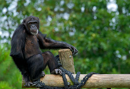 troglodytes: Adult Chimpanzee - Pan troglodytes - with humorous facial expression.