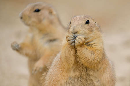 forground: Two Prairie Dogs (Cynomys).  The mammal in the forground is nibbling on some food with his paws up to his mouth.