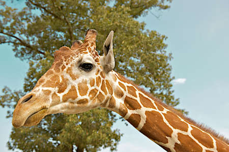 Giraffe face and neck surrounded by sky and trees.  The giraffe (Giraffa camelopardalis) is an African even-toed ungulate mammal, the tallest of all land-living animal species, and the largest ruminant.
