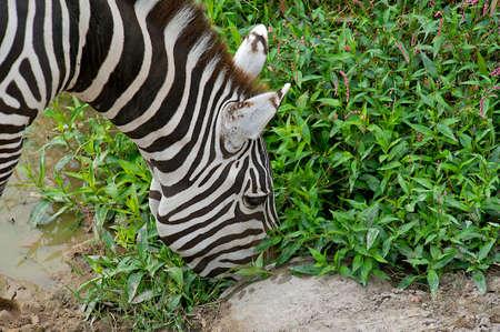 Grants Zebra (Equus burchelli boehmi) munching on foliage.  Zebras (Hippotigris dolichohippus) are African equids best known for their distinctive white and black stripes.