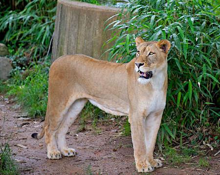 Female lion (Panthera leo) alert and growling.