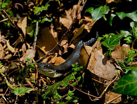 slithering: Black snake slithering out from beneath the leaves. Stock Photo