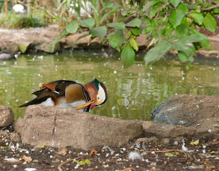Male American Wood Duck - Aix sponsa scratching his face. Stock Photo